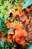 Orange pleat fungus