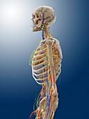 Human anatomy,artwork