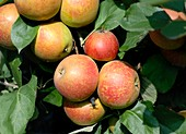 Apple (Malus domestica 'Roter Boskoop')
