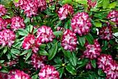 Rhododendron 'Eruption'
