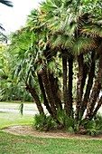 Palm (Chamaerops humilis)