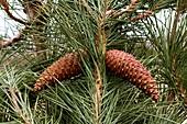 Maritime Pine (Pinus pinaster)