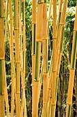 Phyllostachys bambusoides