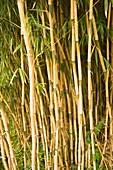 Bamboo (Yushania maling)
