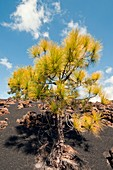 Canary Island pine on lava field