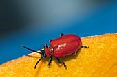 Scarlet lily beetle on a leaf