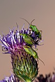 Common green capsid bugs on a flower