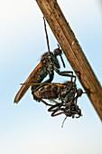 Dance flies mating