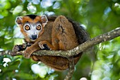 Crowned lemur male