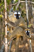 Red-fronted lemur mother and baby