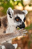 Ring-tailed lemur mother