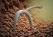 Schistosome fluke worms,artwork