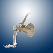 Shoulder joint,artwork