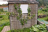 Pear tree by an allotment shed