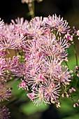 Meadow Rue (Thalictrum aquilegiifolium)