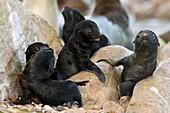 Cape fur seal nursery