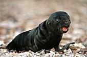 Cape fur seal pup