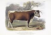 Long-horned Cattle,19th century
