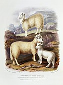 Soft-woolled Welsh sheep,19th century