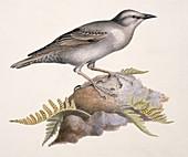European starling,19th century