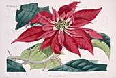 Poinsettia flower,historical artwork