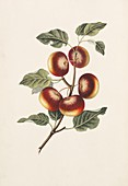 Apples,19th century