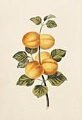 Apricots,19th century