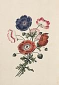 Anemone flowers,19th century