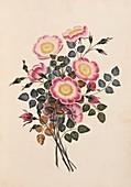 Dog rose flowers,19th century