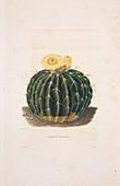 Echinocactus cactus,19th century