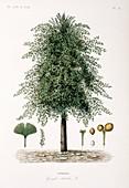 Maidenhair tree,19th century