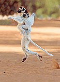 Verreaux's sifaka mother and baby
