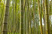 Bamboo grove in Japan