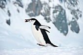 Chinstrap penguin with a pebble