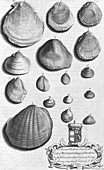 Shell specimens,18th century