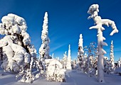 Pine forest after heavy snowfall