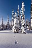 Hare tracks in deep snow