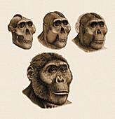 Paranthropus boisei anatomy,artwork