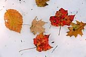 Autumn leaves on snow