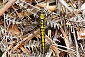 Black-tailed skimmer dragonfly