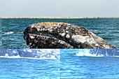 Grey whale surfacing