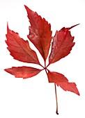 Parthenocissus quinquefolia leaf