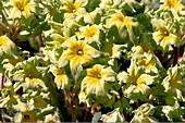 Primrose (Primula 'Francesca')