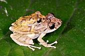 Rain frogs mating