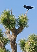Raven on a joshua tree