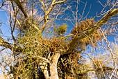 Palo Verde tree and mistletoe