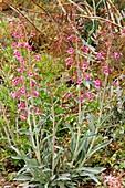 Beardtongue (Penstemon parryi) in flower