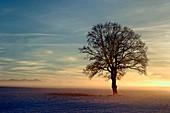 Oak (Quercus robur) tree at dawn