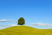 Linden tree on a hill-top
