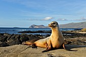 Galapagos sea lion resting on a rock